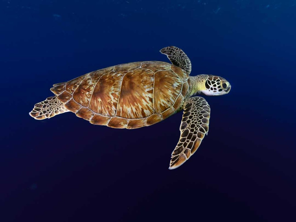Green turtle bonaire