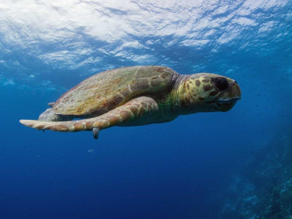 Loggerhead Turtle bonaire